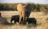 Дроны и ИИ помогут защитить слонов от браконьеров