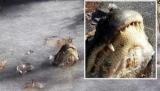 Они выживут все: из-за сильных морозов в Соединенных Штатах аллигаторов, вмерзшие в лед, но жива (фото+видео)